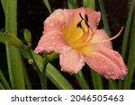 Soaking Wet  Petals Of Pink...