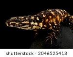 Small photo of Warren's Girdled Lizard (Smaug warreni warreni)