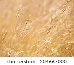 corn field background | Shutterstock . vector #204667000