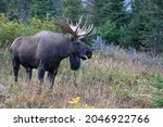A large bull moose grunts a challenge to other bulls during Alaska