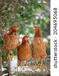 Hybrid Hens Sitting Together