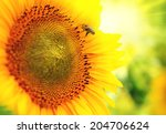 Sunflower. Beautiful Sunflower...