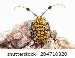 capricorn beetle  long horned ... | Shutterstock . vector #204710320