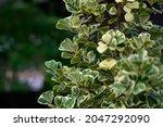 Mistletoe Fig Or Mistletoe...