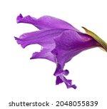 single violet gladiolus flower... | Shutterstock . vector #2048055839