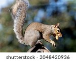 Squirrel On The Roof Of A...