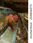 Third World Country Egg Farm