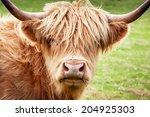 Scottish Highland Cow  Isle Of...