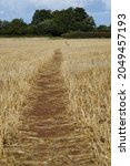 Small photo of Foot path trodden through a wheat stubble field. In the Somerset countryside.