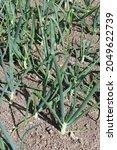 rows of onions  allium cepa of...