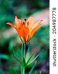 Wood Lily Bloom On A Meadow