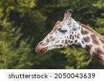 girraffe head profile  side... | Shutterstock . vector #2050043639