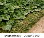 row of pumpkins planted to the... | Shutterstock . vector #205043149
