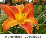 Orange Day Lily Flowers In...