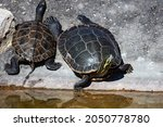 yellow bellied slider turtle....   Shutterstock . vector #2050778780