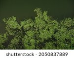 Top View Of Duckweed Grass On...
