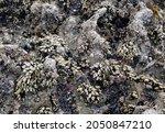 Sea Rock Full Of Barnacles ...