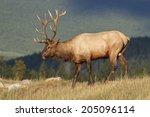 bull elk | Shutterstock . vector #205096114