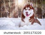 Beautiful Siberian Husky Dog On ...