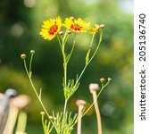 a shot of some plains coreopsis