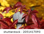 Red Autumn Leaves Of A Wild...