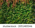 Parthenocissus Tricuspidata In...
