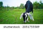 Black Colour Goat Eating Grass...