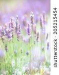 lavender  | Shutterstock . vector #205215454