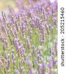 lavender  | Shutterstock . vector #205215460