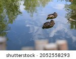 Cute Couple Of Ducks In The...