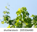 young leaves of the vineyard | Shutterstock . vector #205336480