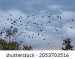 A Flock Of Flying Cormorants