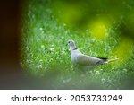 A Eurasian Collared Dove ...