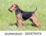 welsh terrier on a summer meadow   Shutterstock . vector #205375474
