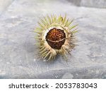 Picture Of Datura Seedpod On...