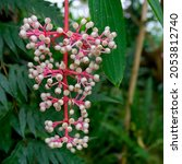 Melastomes Wild Berries Bushy...