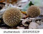 Mushroom Lycoperdon Echinatum ...