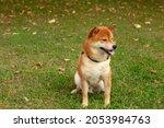 japanese shiba inu dog smiling... | Shutterstock . vector #2053984763