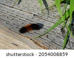 Pyrrharctia isabella, the isabella tiger moth, whose larval form is called the banded woolly bear, woolly bear, or woolly worm, occurs in the United States and southern Canada.
