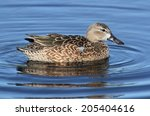 Female Blue-winged Teal (anas discors) swimming in the Florida Everglades
