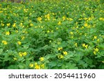 Many Yellow Flowers Of...