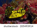 Small photo of Nudibranch Aegires gardineri