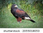 Small photo of Side profile of a Harris's Hawk on the grass