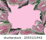 Caladium In Pink And Green Leaf ...