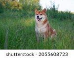 japanese shiba inu dog smiling...   Shutterstock . vector #2055608723