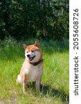 japanese shiba inu dog smiling...   Shutterstock . vector #2055608726