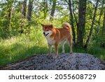 japanese shiba inu dog smiling...   Shutterstock . vector #2055608729