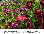 colorful flowering petunias in... | Shutterstock . vector #2055673949