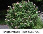 Cotton Rosemallow Flowers....