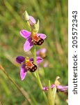 Wild Orchid  Ophrys Apifera ...
